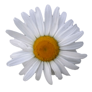 Kamille - beruhigend - entzündungshemmend. Matricaria chamomilla
