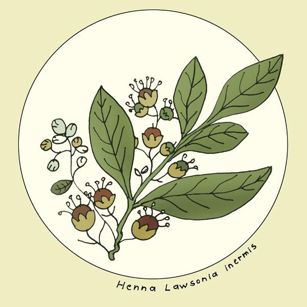 Salbei aus der Natur.  Eigenanbau Salbei. Lawsonia.
