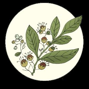 Hennapflanze