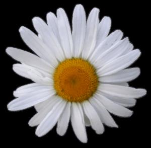 Kamille - beruhigend - entzündungshemmend
